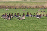 Pink-footed goose, Anser brachyrhynchus — Stock Photo