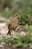 Ortolan bunting, Emberiza hortulana — Stock Photo