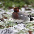 Stock Photo: Wigeon, Anas penelope
