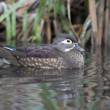 Stock Photo: Wood duck, Aix sponsa,