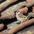 Stock Photo: Tree sparrow, Passer montanus