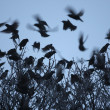 Stock Photo: Starling, Sturnus vulgaris