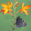 Small tortoiseshell butterfly, Aglais urticae — Stock Photo