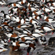 Shelduck, Tadorna tadorna — Stock Photo