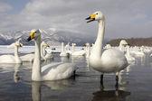 Cisne-bravo, cygnus cygnus — Fotografia Stock