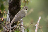 Willow warbler — Stock Photo