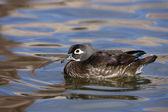 Wood duck, Aix sponsa, — Stock Photo