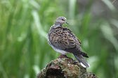 Turtle dove, Streptopelia turtur — Stock Photo