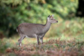 Sika deer, Cervus nippon, — Photo