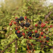 Stock Photo: Bramble, Rubus fruticosus
