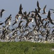 Stock Photo: Black skimmer, Rynchops niger