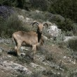 Barbary sheep or Mouflon, Ammotragus lervia — Stock Photo