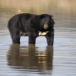 Stock Photo: Asiatic Black Bear, Ursus thibetanus,