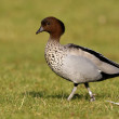 Stockfoto: Australiwood duck or maned duck, Chenonettjubata,