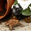 Stock Photo: Common toad, Bufo bufo