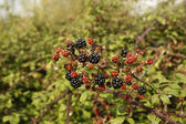 Bramble, Rubus fruticosus — Stock Photo