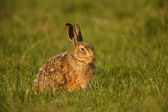 Brown hare, Lepus europaeus — Stock Photo