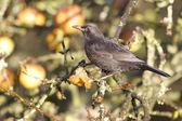 Blackbird Turdus merula — Stock Photo