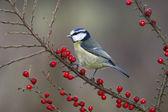 Blue tit, Parus caeruleus — Zdjęcie stockowe