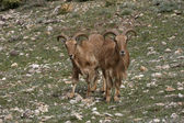Barbary sheep or Mouflon, Ammotragus lervia — Stock Photo