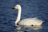Bewicks swan, Cygnus bewickii, — Stock Photo