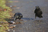 Carrion crow, Corvus corone, — Stock Photo