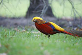 Golden pheasant, Chrysolophus pictus, — Stock Photo