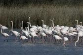 Greater flamingo, Phoenicopterus ruber — Stockfoto