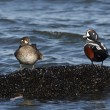 Harlequin duck, Histrionicus histrionicus, — Stock Photo