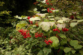 Guelder rose, Viburnum opulus — Stock Photo