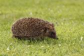 Hedgehog, Erinaceus europaeus — Stock Photo