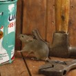 House mouse, Mus musculus, — Stock Photo