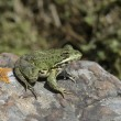 Iberian marsh frog, Rana perezi — Stock Photo