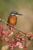 Europeu kingfisher, alcedo atthis — Foto Stock