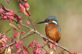 European kingfisher, Alcedo atthis — Stock Photo