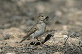Lesser short-toed lark, Calandrella rufescens — Stock Photo