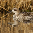 Marbled teal, Marmaronettangustirostris — Photo #32520923