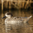 Marbled teal, Marmaronettangustirostris — Photo #32520931