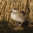 Marbled teal, Marmaronettangustirostris — Photo #32520949