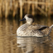 Marbled teal, Marmaronettangustirostris — Photo #32520959