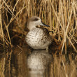 Marbled teal, Marmaronettangustirostris — Photo #32520967