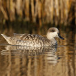 Marbled teal, Marmaronettangustirostris — Photo #32520979