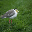 Masked plover or lapwing, Vanellus miles — Stock Photo
