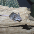 Mouse-like hamster, Calomyscus mystax — Photo #32521159