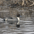 Northern pintail, Anas acuta — 图库照片