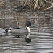 Northern pintail, Anas acuta — Stock Photo