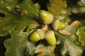 Oak tree, Quercus rober — Stock Photo