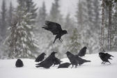 Raven, Corvus corax — Stock Photo