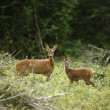 Roe deer, Capreolus capreolus — Stock Photo