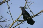 Rook, Corvus frugilegus — Stock Photo